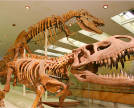 Prestosuchus and Tarbosaurus. Photo: Museum of Paleontology