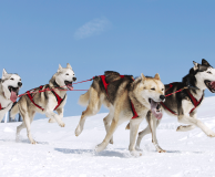 Sled Dog Racing at the Severny Boarding Kennel